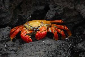 cari crabe